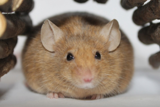 Is It Normal To Gain Weight With Age? Mice_r11