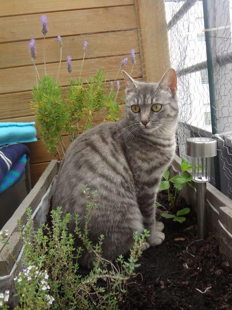 miss - MISS MARPLE, femelle européenne, tabby grise, née le 17/09/16 Dsc02717