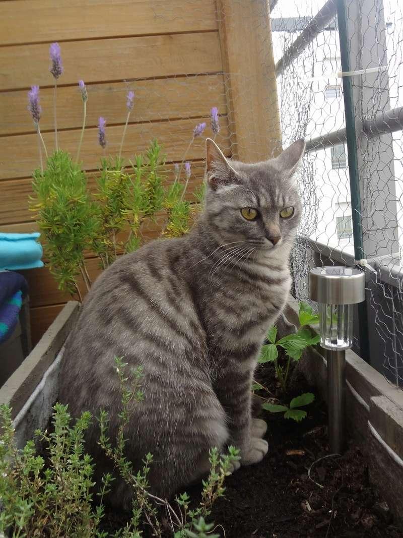 miss - MISS MARPLE, femelle européenne, tabby grise, née le 17/09/16 Dsc02718
