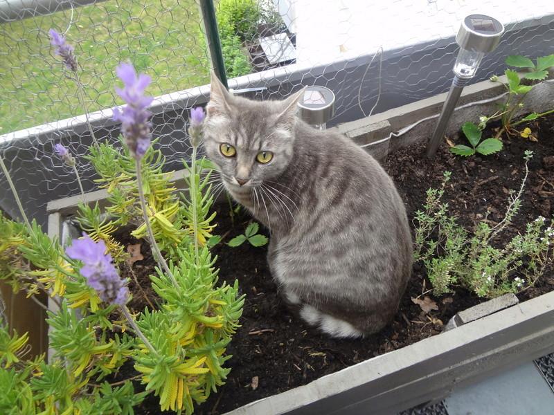 miss - MISS MARPLE, femelle européenne, tabby grise, née le 17/09/16 Dsc02719