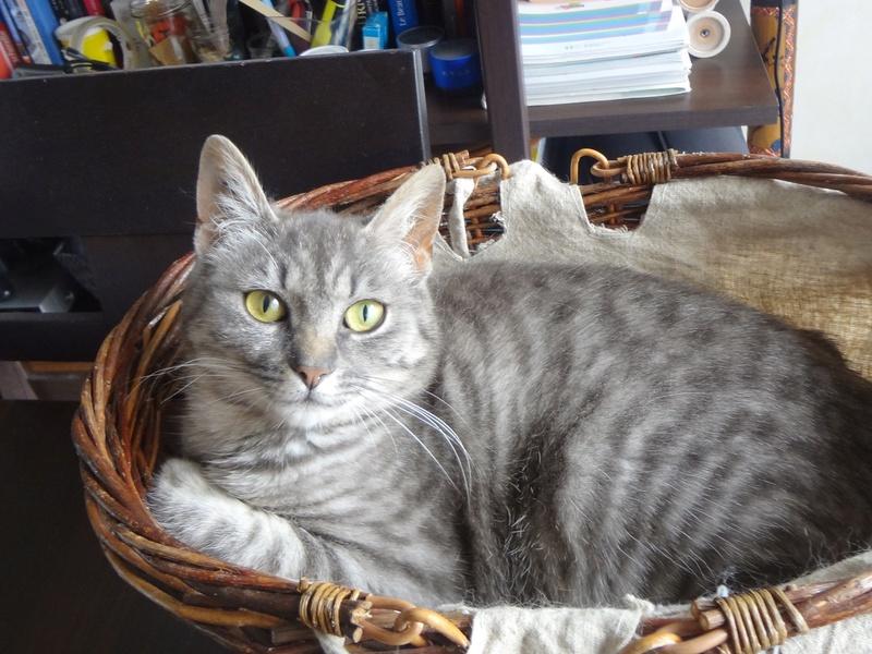 miss - MISS MARPLE, femelle européenne, tabby grise, née le 17/09/16 Dsc02723