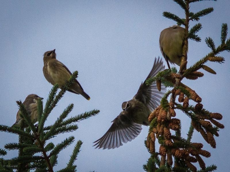 Oiseaux à identifier Oiseau10