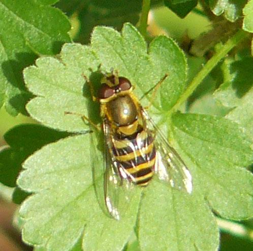 Dasysyrphus albostriatus;  Syrphus probable Syrphu10