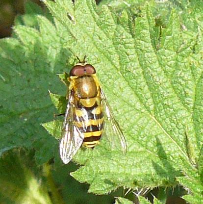 Dasysyrphus albostriatus;  Syrphus probable Syrphu11