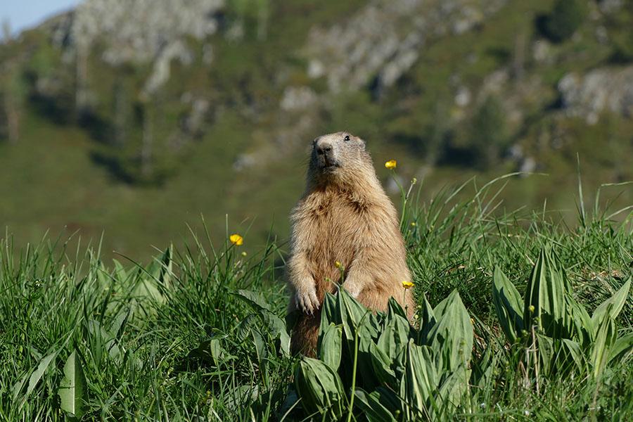 Photo Du Jour du 31/05/2017   Marmot10