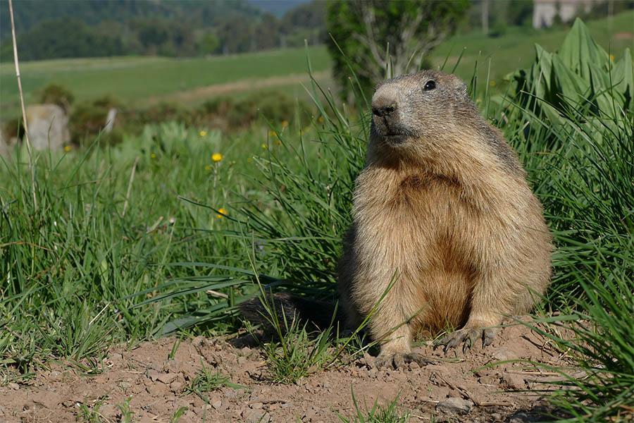 Photo Du Jour du 01/06/2017   Marmot15