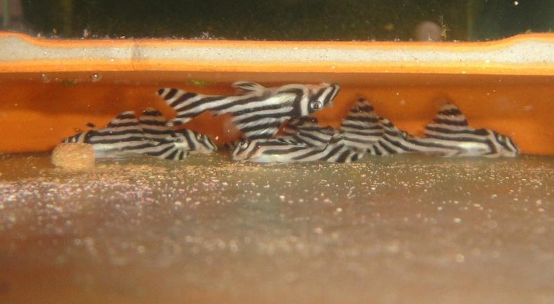 hypancistrus zebra L46 (15/04/2017) Dsc06911