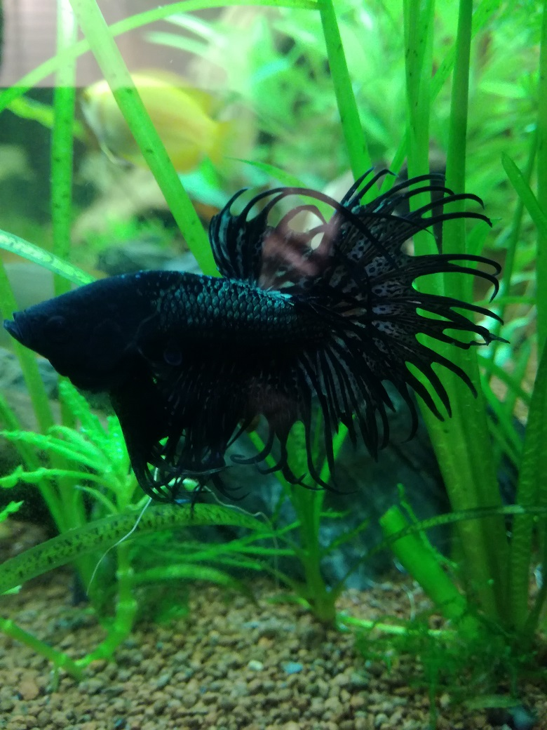 betta crowntail Betta_10