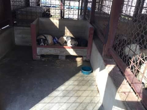 ZORHA, F-X, 25KG, née 2012 (ORASTIE/FOURRIERE) Prise en charge Ferme des Rescapés Fb_i1092