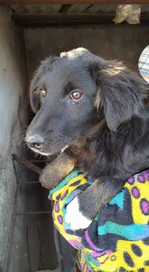 NINA, F-X berger roumain, née 11/2016 (RUE ORASTIE) Prise en charge Ferme des rescapés Fb_i1460