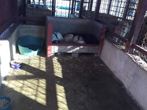 ZORHA, F-X, 25KG, née 2012 (ORASTIE/FOURRIERE) Prise en charge Ferme des Rescapés Fb_im246