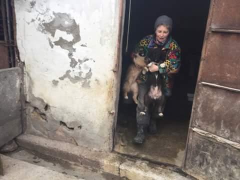 NINA, F-X berger roumain, née 11/2016 (RUE ORASTIE) Prise en charge Ferme des rescapés Fb_im932