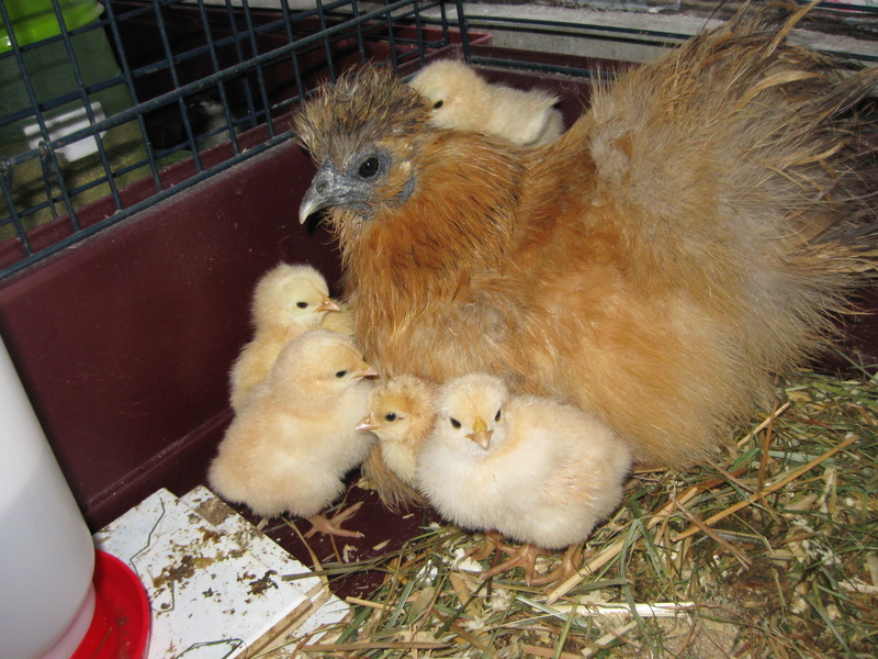 Ma poule soie Poule_24
