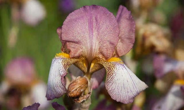 'Dawn Reflection' plicata rose - Natyra [Identification] Benton10
