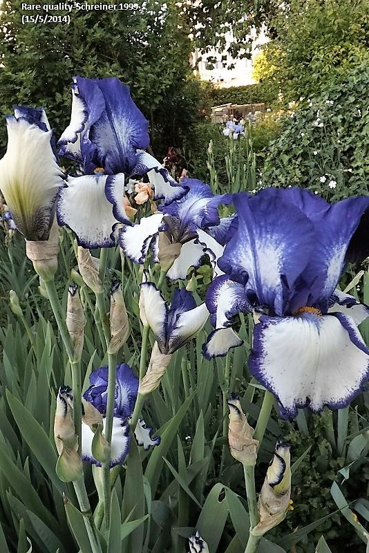 Les Iris plicata - une longue histoire et un bel exemple d'évolution Dscf0911