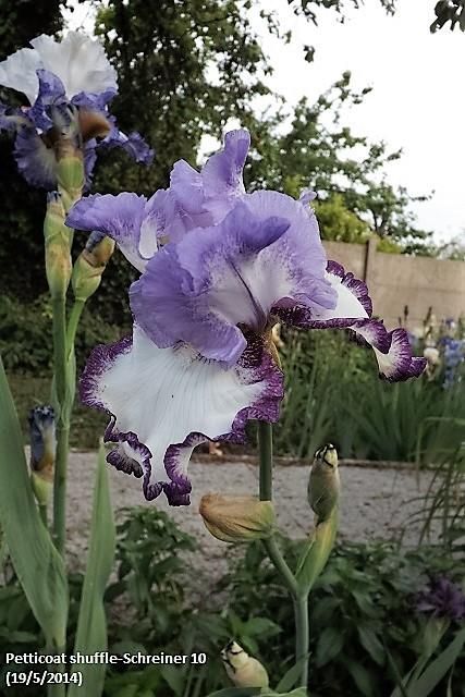 Les Iris plicata - une longue histoire et un bel exemple d'évolution Dscf0912