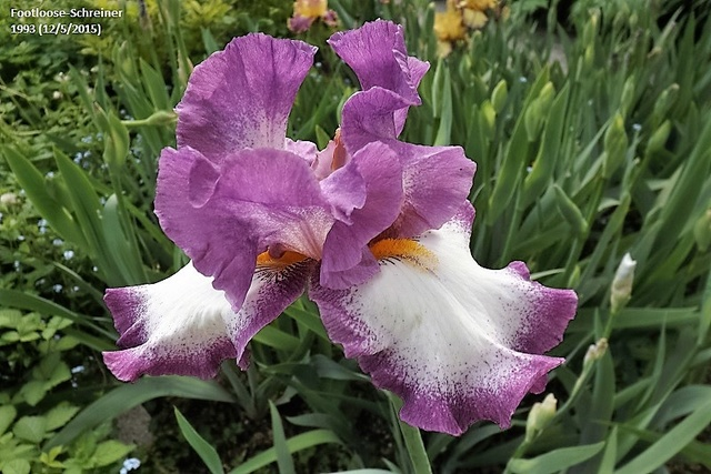 Les Iris plicata - une longue histoire et un bel exemple d'évolution Dscf1012