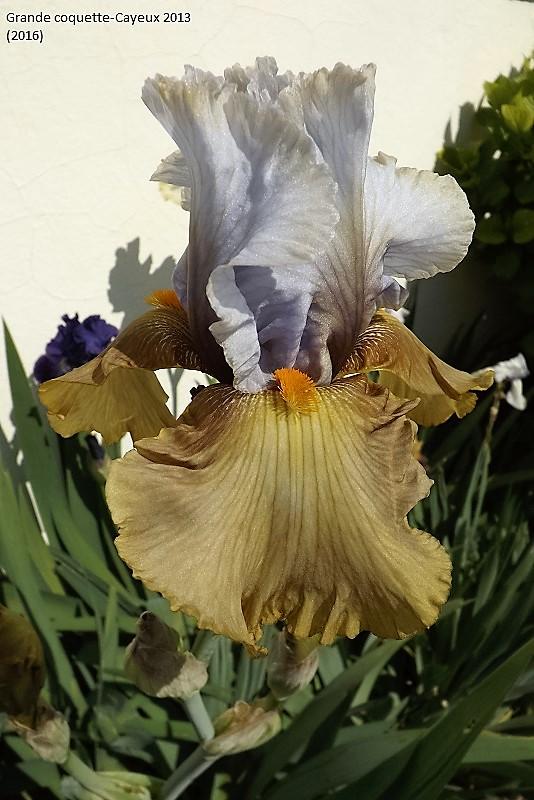 Iris 'Grande Coquette' - R. Cayeux 2013 Dscf1510