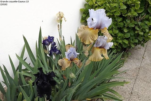 Iris 'Grande Coquette' - R. Cayeux 2013 Dscf1610