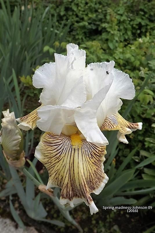 Les Iris plicata - une longue histoire et un bel exemple d'évolution Dscf1613