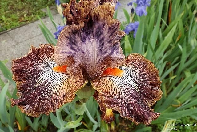 Les Iris plicata - une longue histoire et un bel exemple d'évolution Dscf1614
