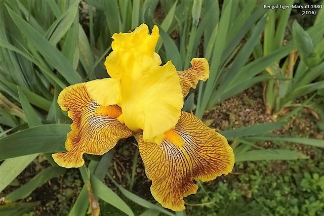 Les Iris plicata - une longue histoire et un bel exemple d'évolution Dscf1616