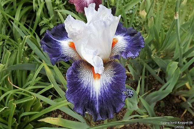 Les Iris plicata - une longue histoire et un bel exemple d'évolution Dscf1617