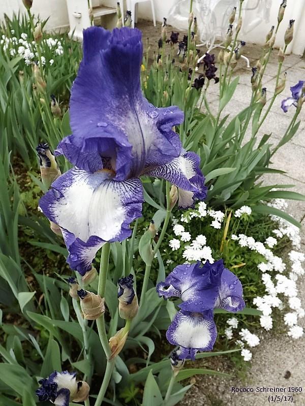 Iris 'Rococo' - Schreiner 1960 Dscf2320