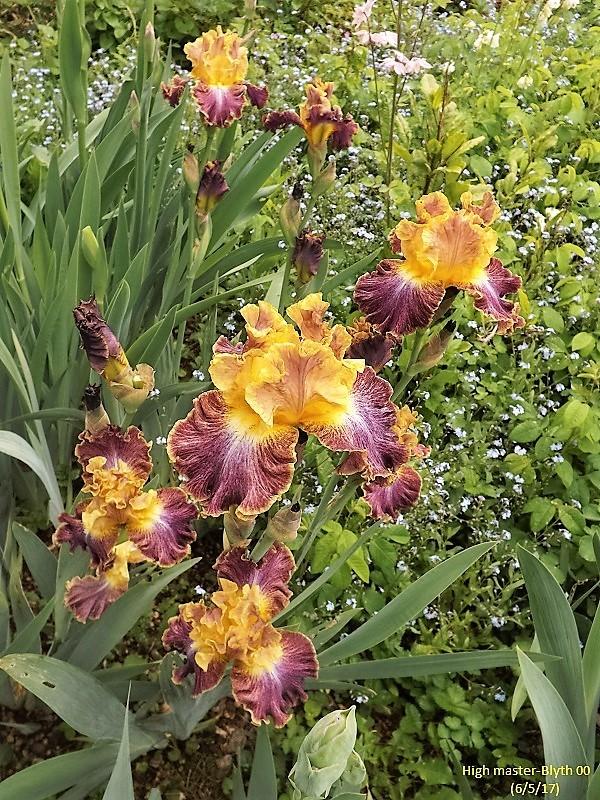 Iris 'High Master' - Blyth 2000 Dscf2415