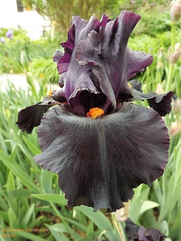 Iris 'Dracula Kiss' - Schreiner 2009 Dscf2417