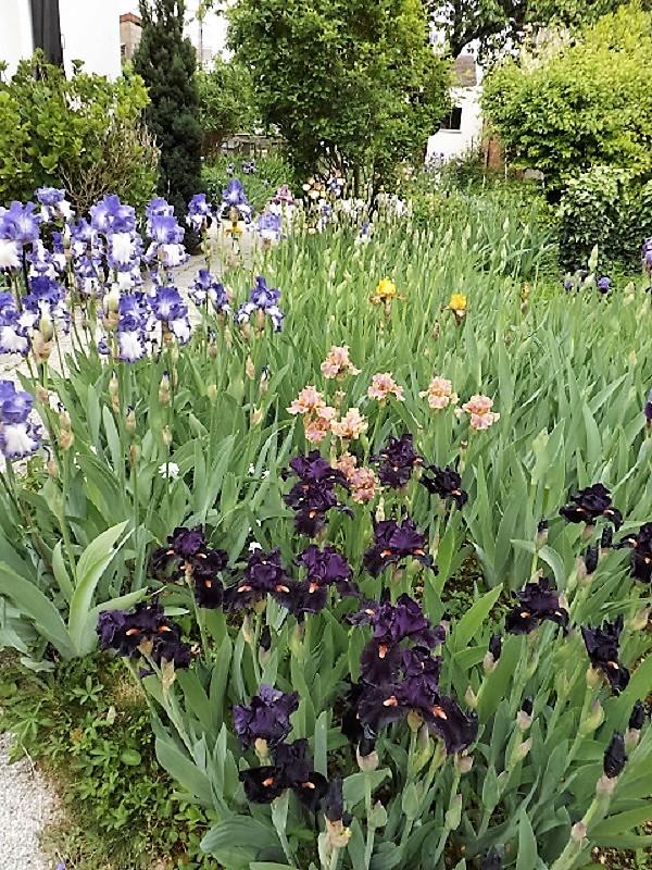 Iris 'Crinoline' - Schreiner 1964 Dscf2418