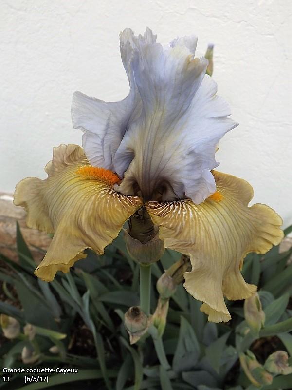 Iris 'Grande Coquette' - R. Cayeux 2013 Dscf2422