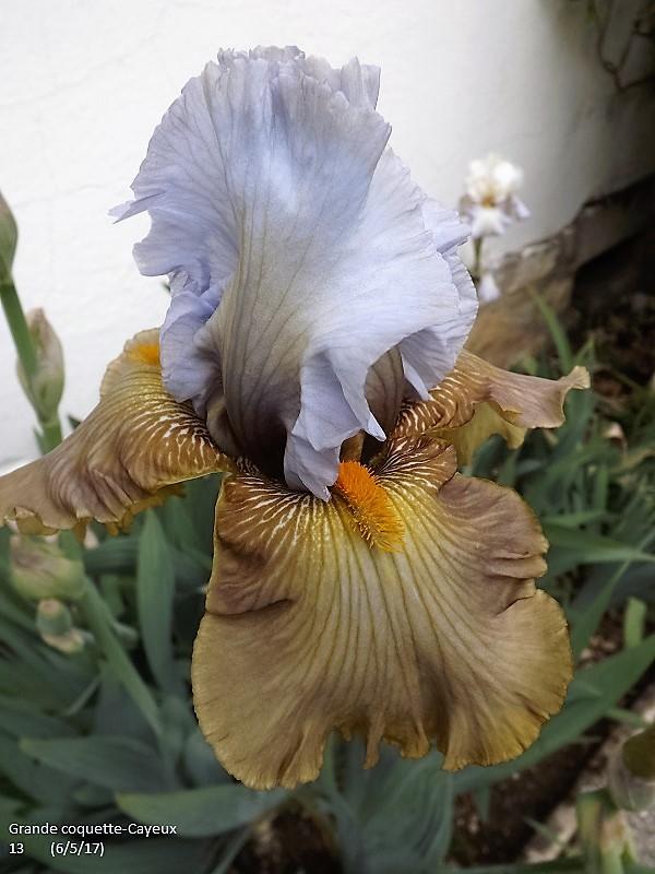 Iris 'Grande Coquette' - R. Cayeux 2013 Dscf2423