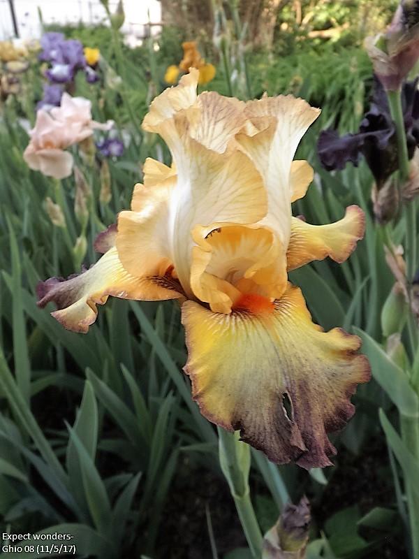 Iris 'Expect Wonders' - Joseph Ghio 2008 Dscf2424