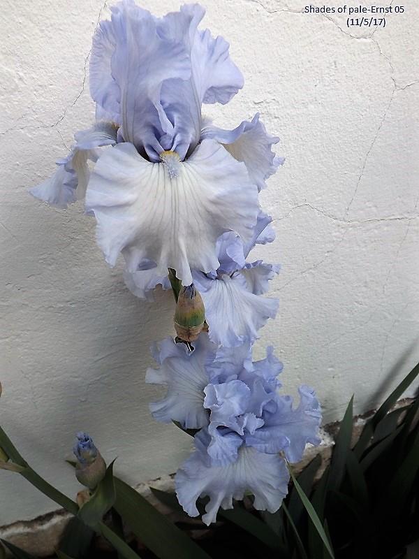 Iris 'Shades of Pale' - Richard Ernst 2004 Dscf2432