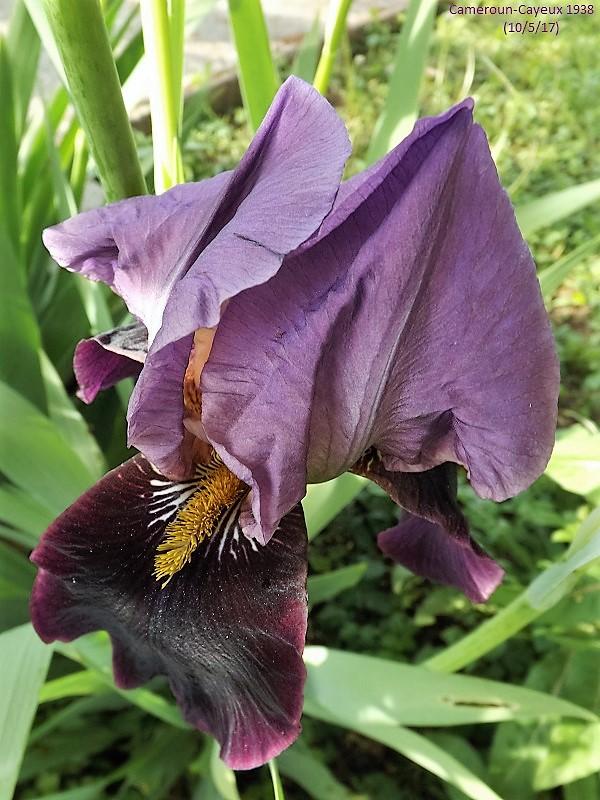 Iris 'Cameroun' - Cayeux 1938 Dscf2437
