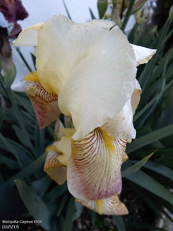 Iris 'Marquita' - Ferdinand Cayeux 1931 Dscf2541