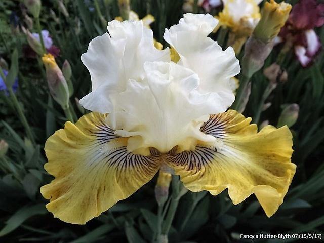 Iris 'Fancy a Flutter' - Blyth 2006 Dscf2543