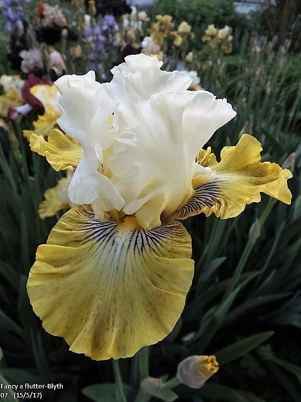 Iris 'Fancy a Flutter' - Blyth 2006 Dscf2544