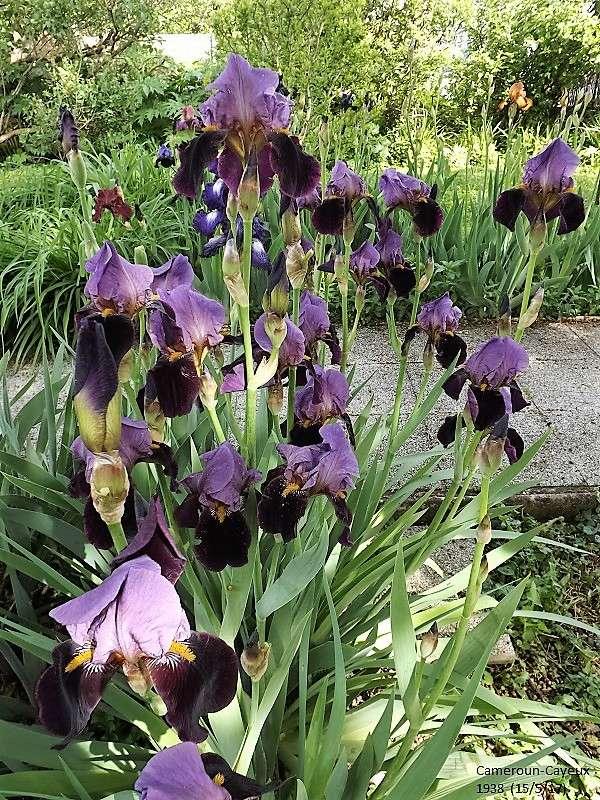 Iris 'Cameroun' - Cayeux 1938 Dscf2555