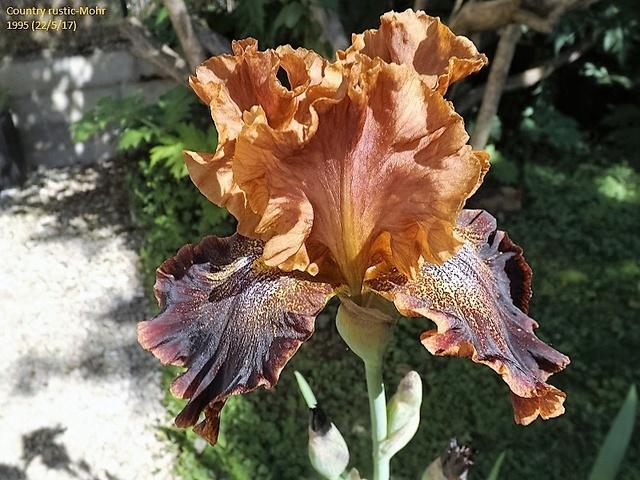 Iris 'Country Rustic' - Ken Mohr 1995 Dscf2720