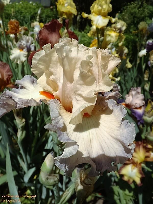 Iris 'Parisian Dawn' - Keppel 2005 Dscf2727