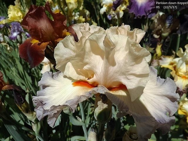 Iris 'Parisian Dawn' - Keppel 2005 Dscf2729