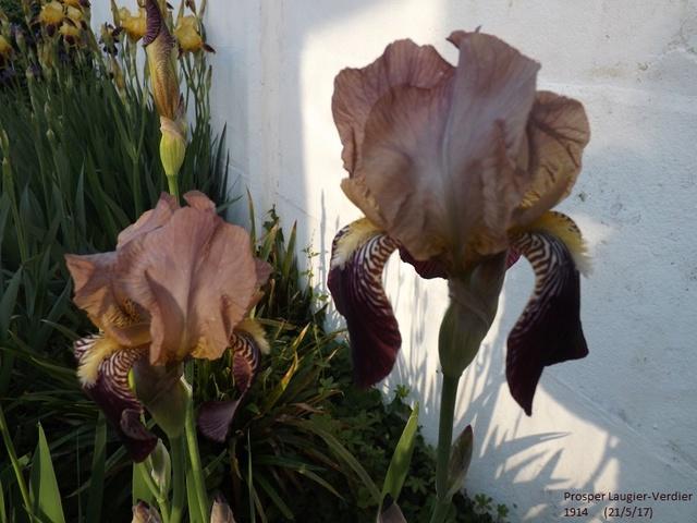 Iris 'Prosper Laugier' - Verdier 1914 Dscf2738