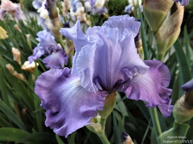 Iris 'French Lilacs' - Keith Keppel 2007 Dscf2826