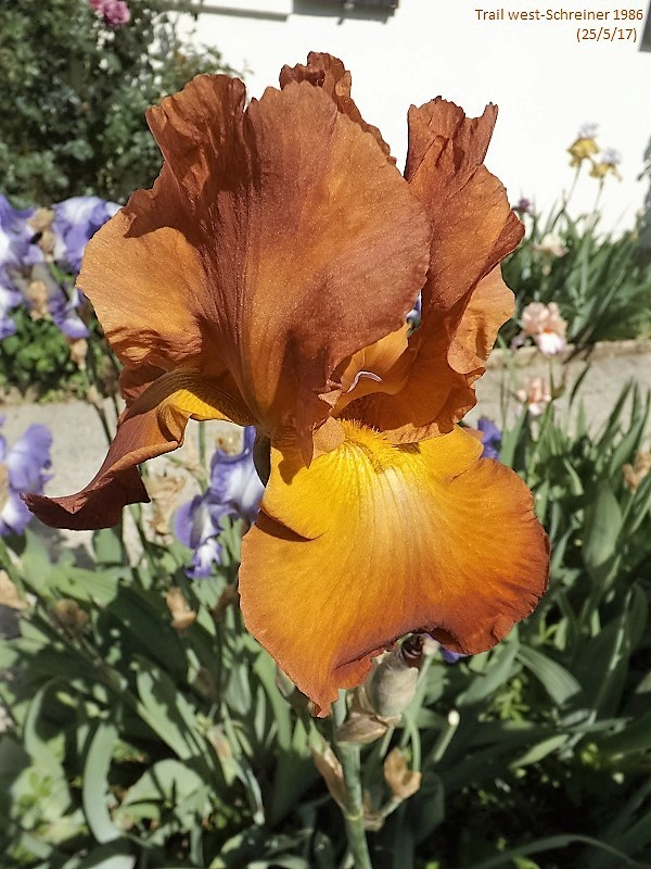 Iris 'Trails West' - Schreiner 1986 Dscf2836
