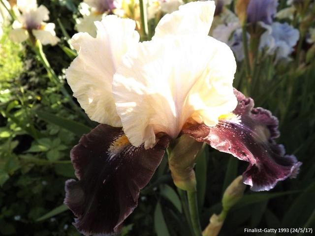 Iris 'Finalist' - Gatty 1993 Dscf2842