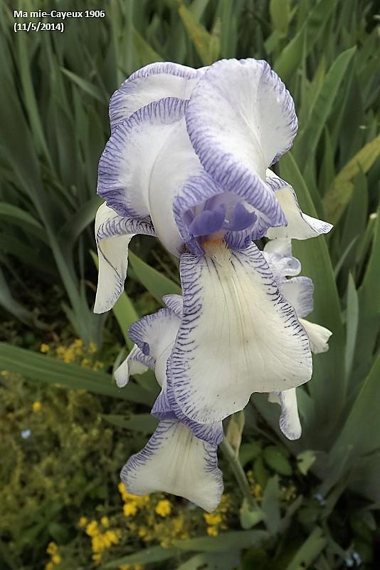 Les Iris plicata - une longue histoire et un bel exemple d'évolution Ma_mie10