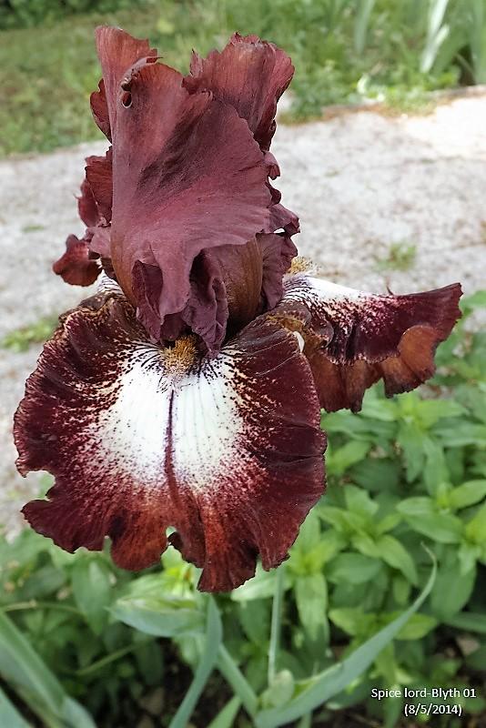 Les Iris plicata - une longue histoire et un bel exemple d'évolution Spice_10