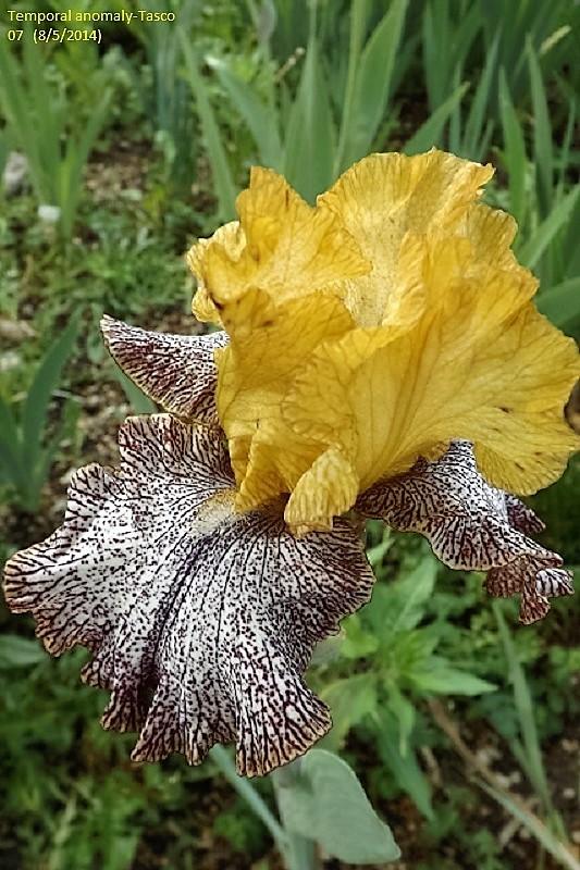 Les Iris plicata - une longue histoire et un bel exemple d'évolution Tempor10